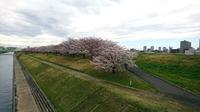 赤羽桜堤01.jpg