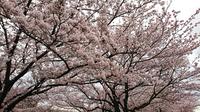 赤羽桜堤02B.jpg